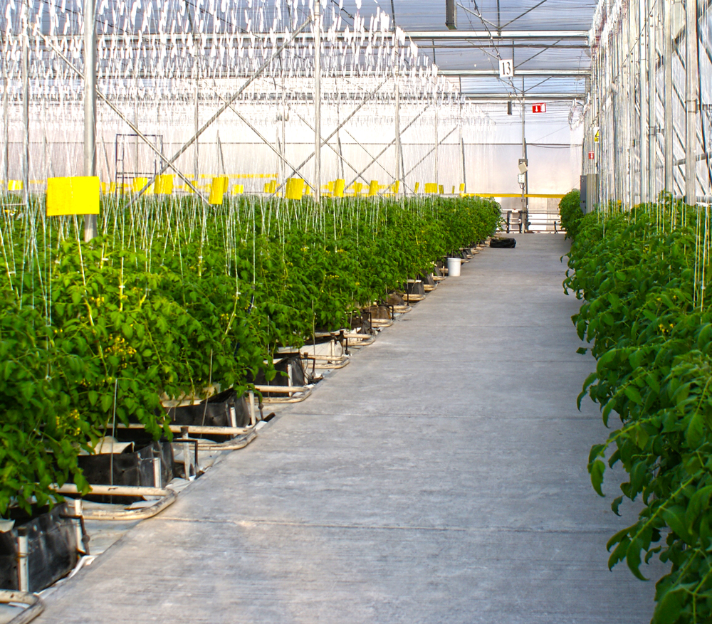 Vine Ripened Tomatoes in one of the Hydroponics Greenhouses